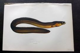 Couch 1877 Antique Fish Print. Broad-Nosed Eel 236